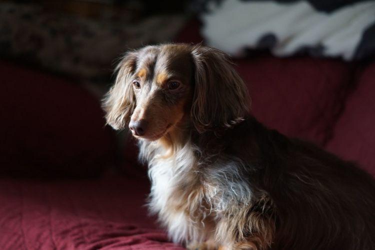 Lola Dachshund One Animal Dog Pets Domestic Animals Mammal Animal Themes Indoors