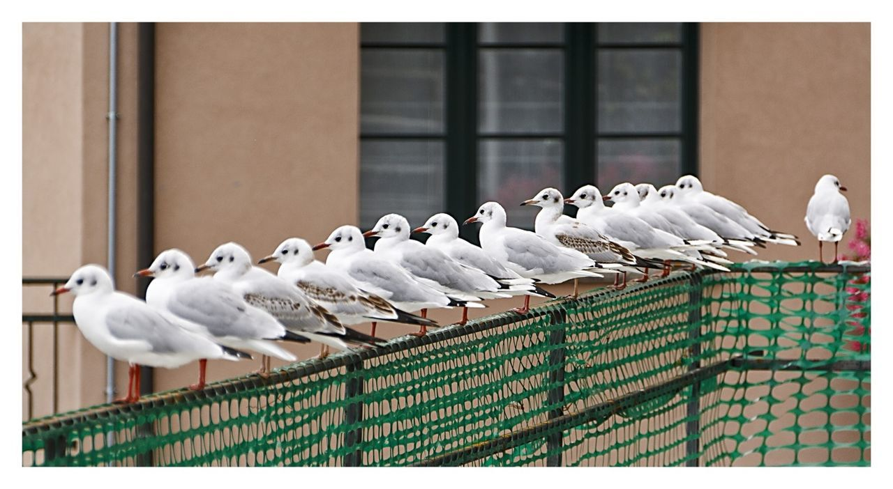 Seagulls Perching On Fence In Row