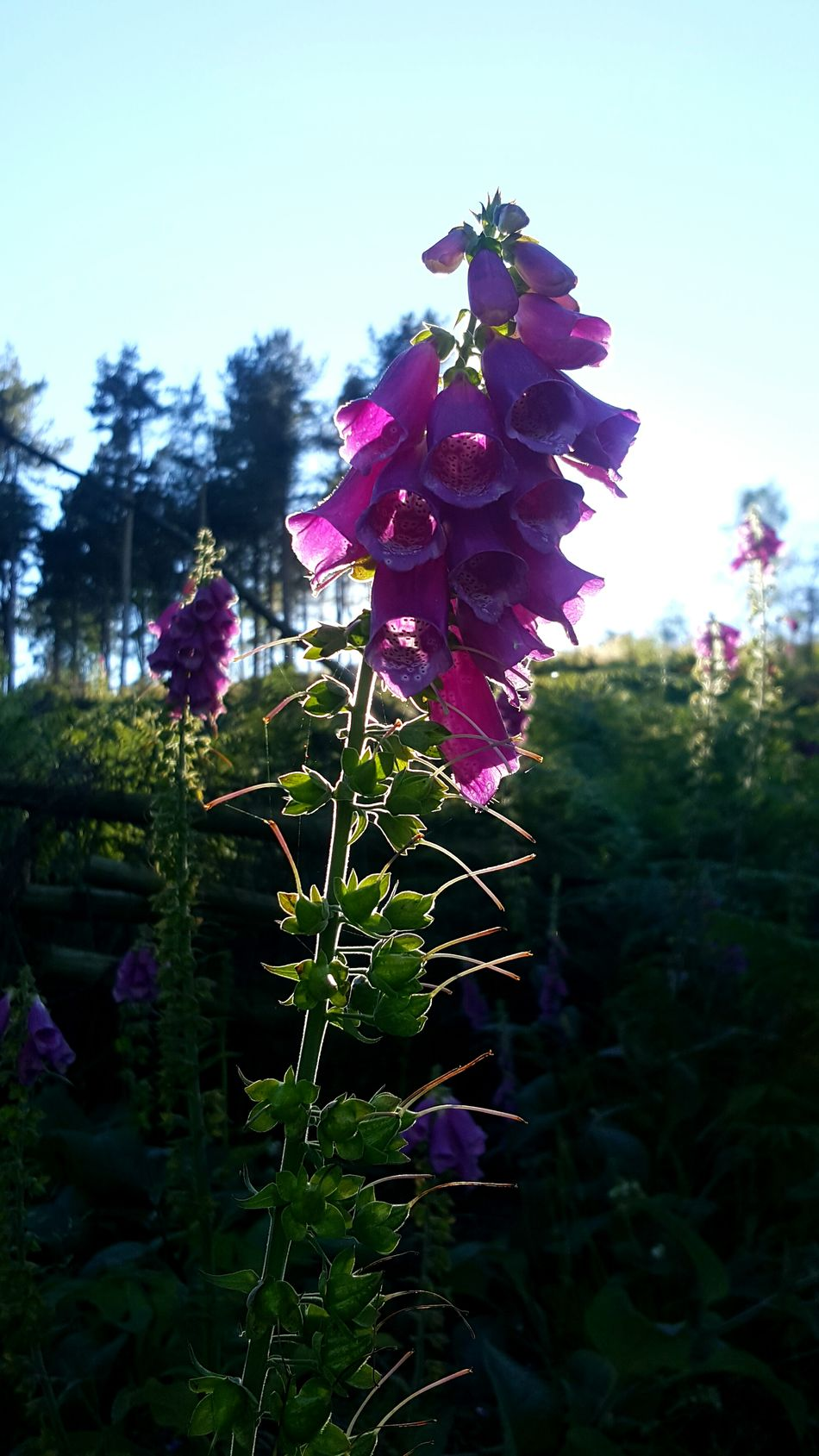 Foxglove Foxgloves Pink Pink Flower Pink Flowers Backlit Backlighting Nature Flower Flowers Flora Wales North Wales Trail Ruthin Samsung Galaxy S6 Edge+