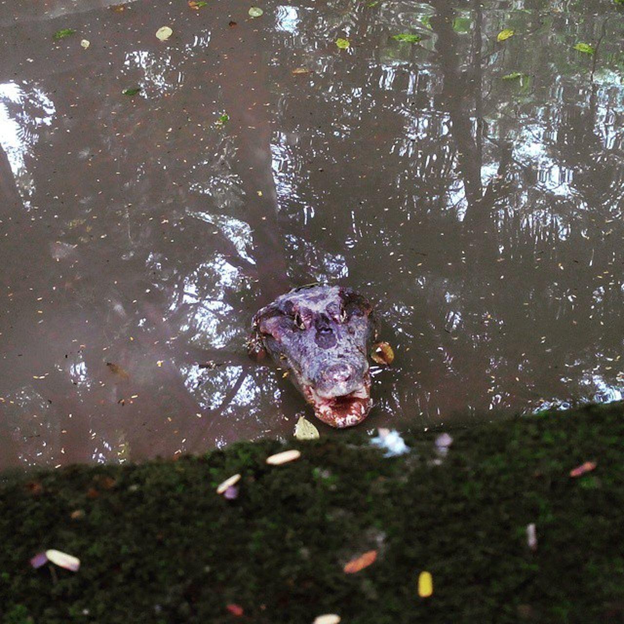 water, one animal, animal themes, animals in the wild, swimming, animal wildlife, nature, reptile, no people, day, outdoors, lake, alligator, underwater, tree, hippopotamus, close-up, mammal