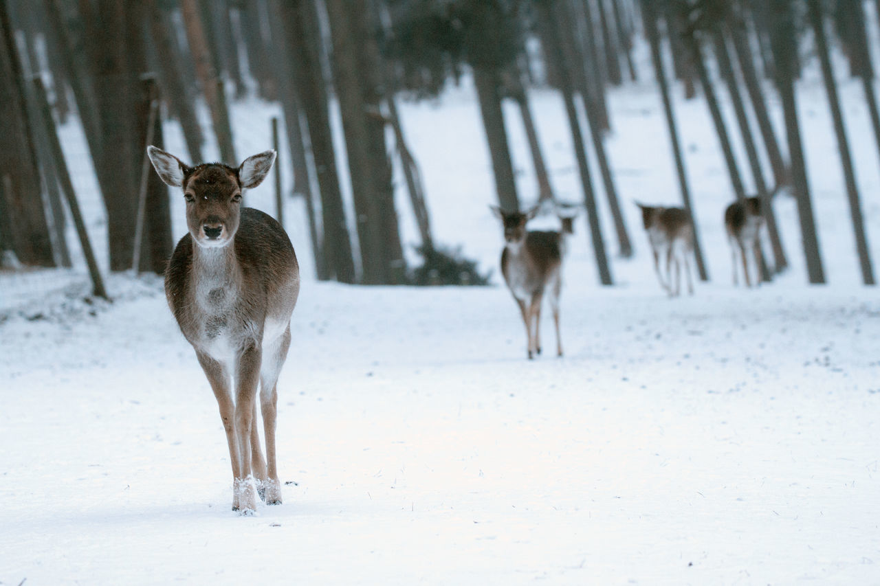 mammal, animal themes, snow, nature, deer, winter, focus on foreground, field, cold temperature, animal wildlife, domestic animals, day, animals in the wild, full length, no people, outdoors, standing, beauty in nature