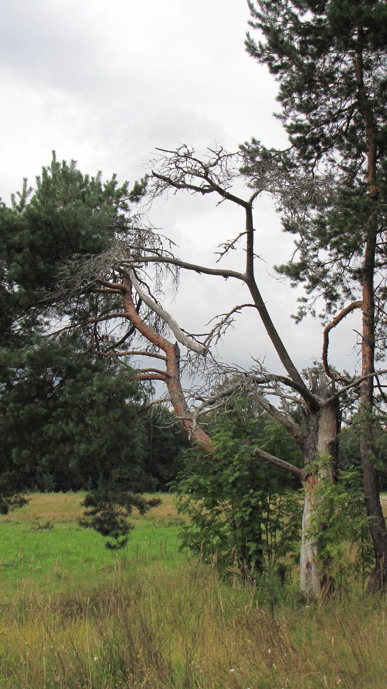 Dead Autumn Dry Snag Cool Green Trees Tree Gray Grey