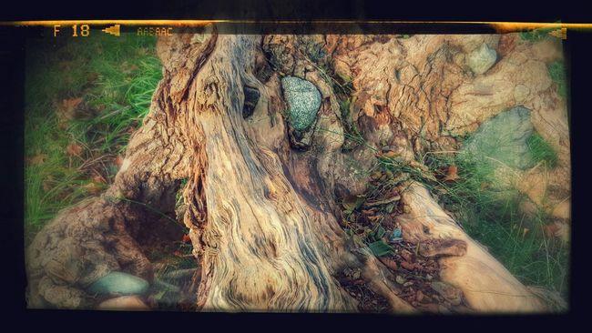 Arbre Tronc Racines Pierre Fusion Stone Wood Tree