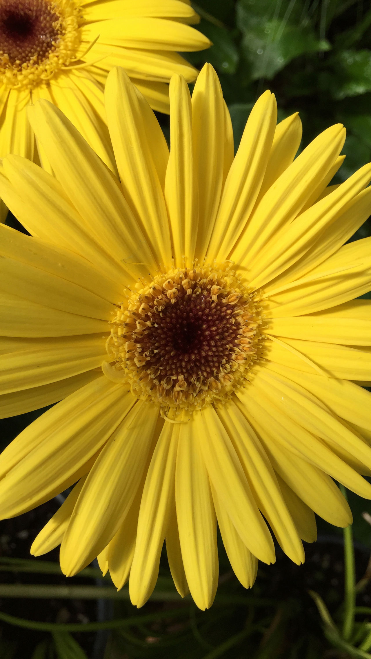 Twin Suns Backgrounds Beauty In Nature Black-eyed Susan Close-up Daisy Day Flower Flower Head Flowers Fragility Freshness Garden Garden Photography Gardening Gerbera Daisy Macro Nature Nature No People Outdoors Petal Pollen Sunflower Yellow Yellow Flower