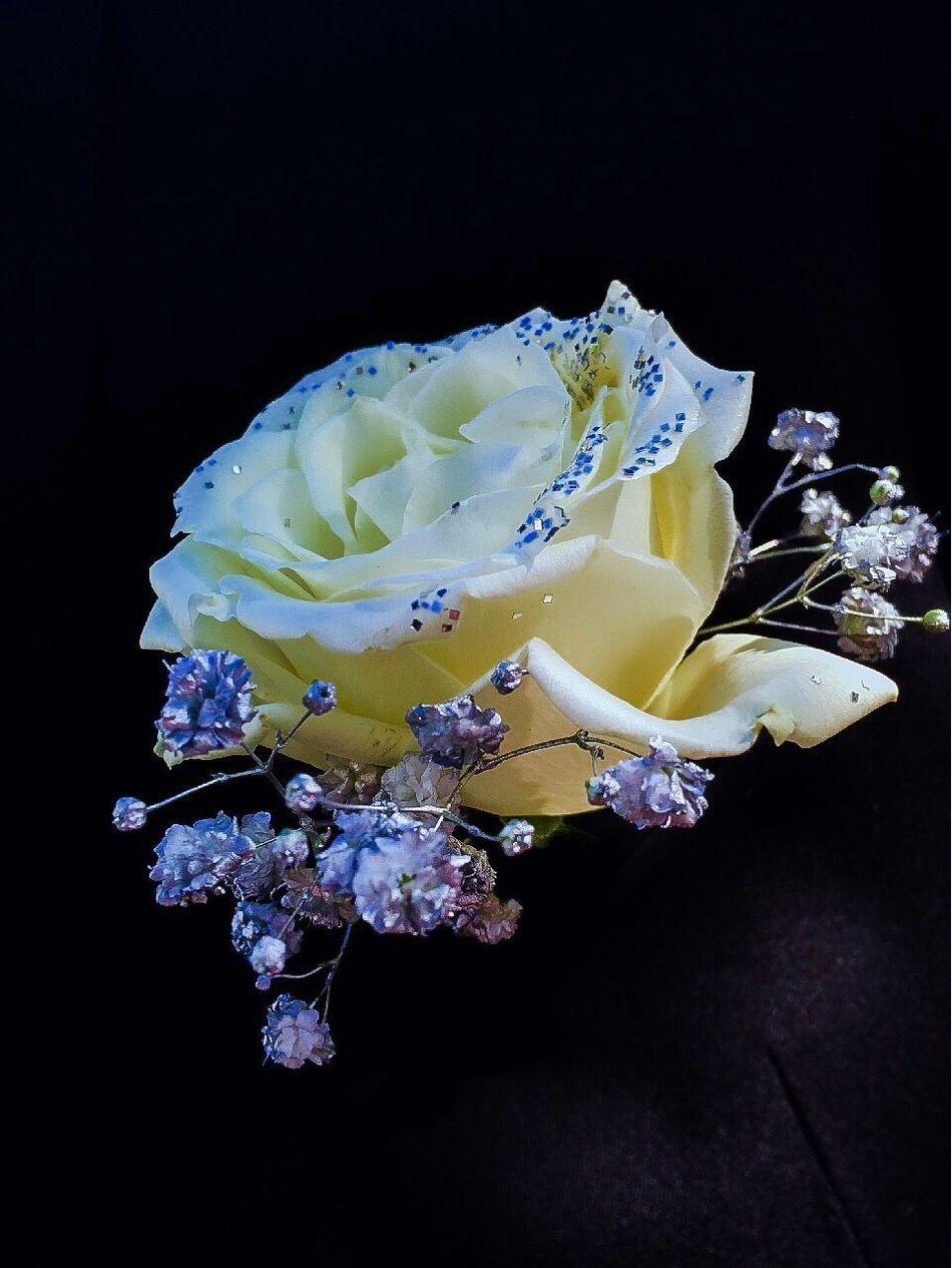 Beautiful stock photos of prom,  Black Background,  Bud,  Flower,  Flower Head