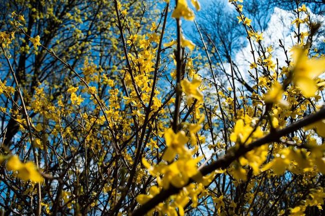 Yellow Flowers Bushes Hanging Out Taking Photos Check This Out Hello World Relaxing Enjoying Life Spring Sky_collection