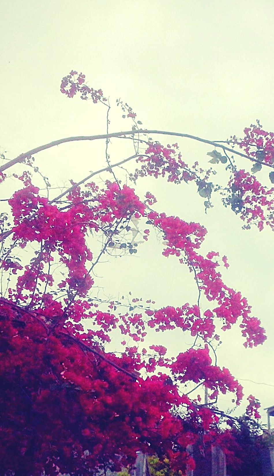 Tree Pink Sheets Nature Beautiful Color