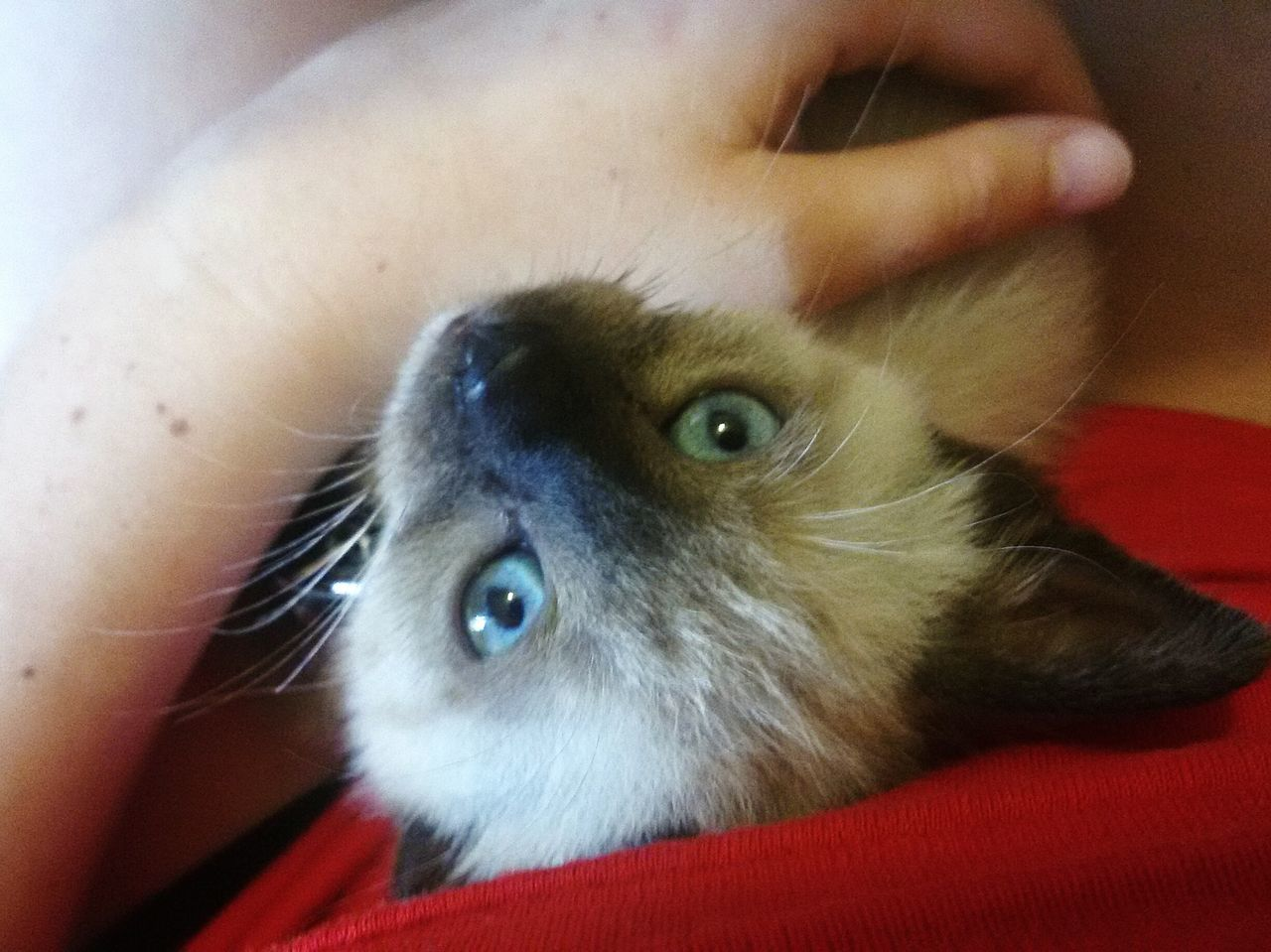 My Fixation ❤ Cat Miró  Eyeblue Sweet Prettycat Siamese