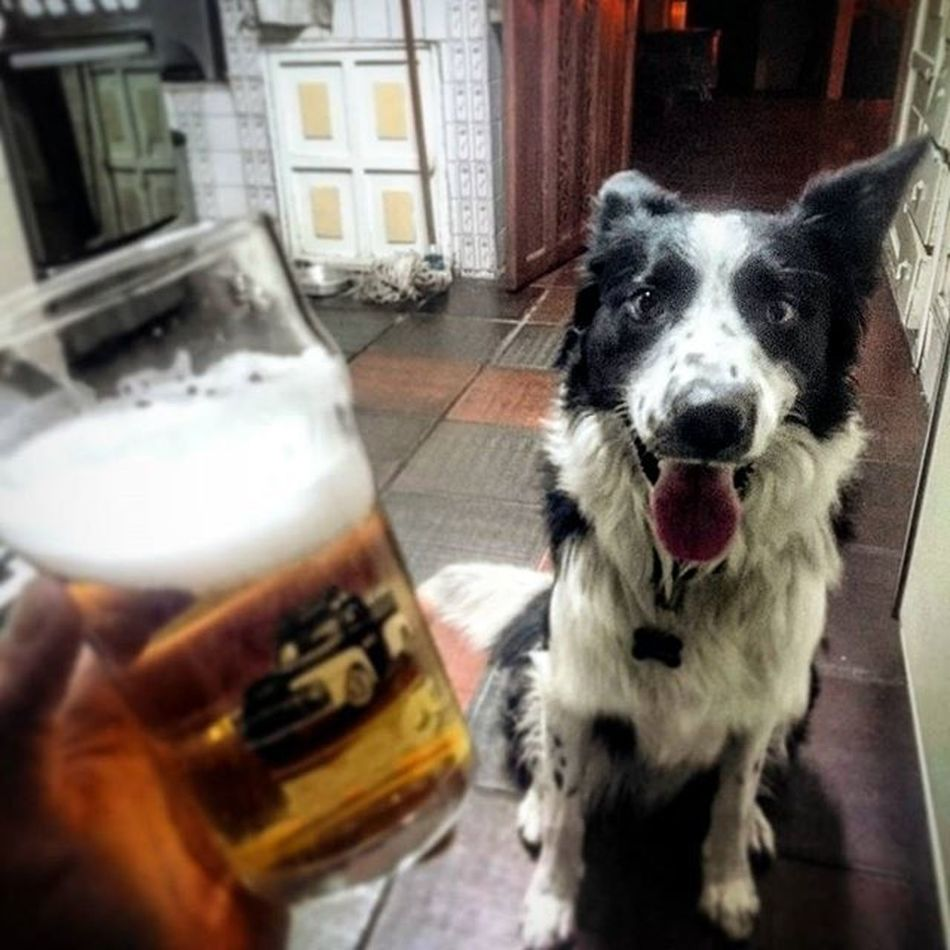 beer and dog Bordercollie  Collie Bordercolliesofinstagram Dog Dog Love Dogslife Bordercollielovers Dogs Beer Dog❤ Doglover Doggy Dog Life Dogs_of_instagram