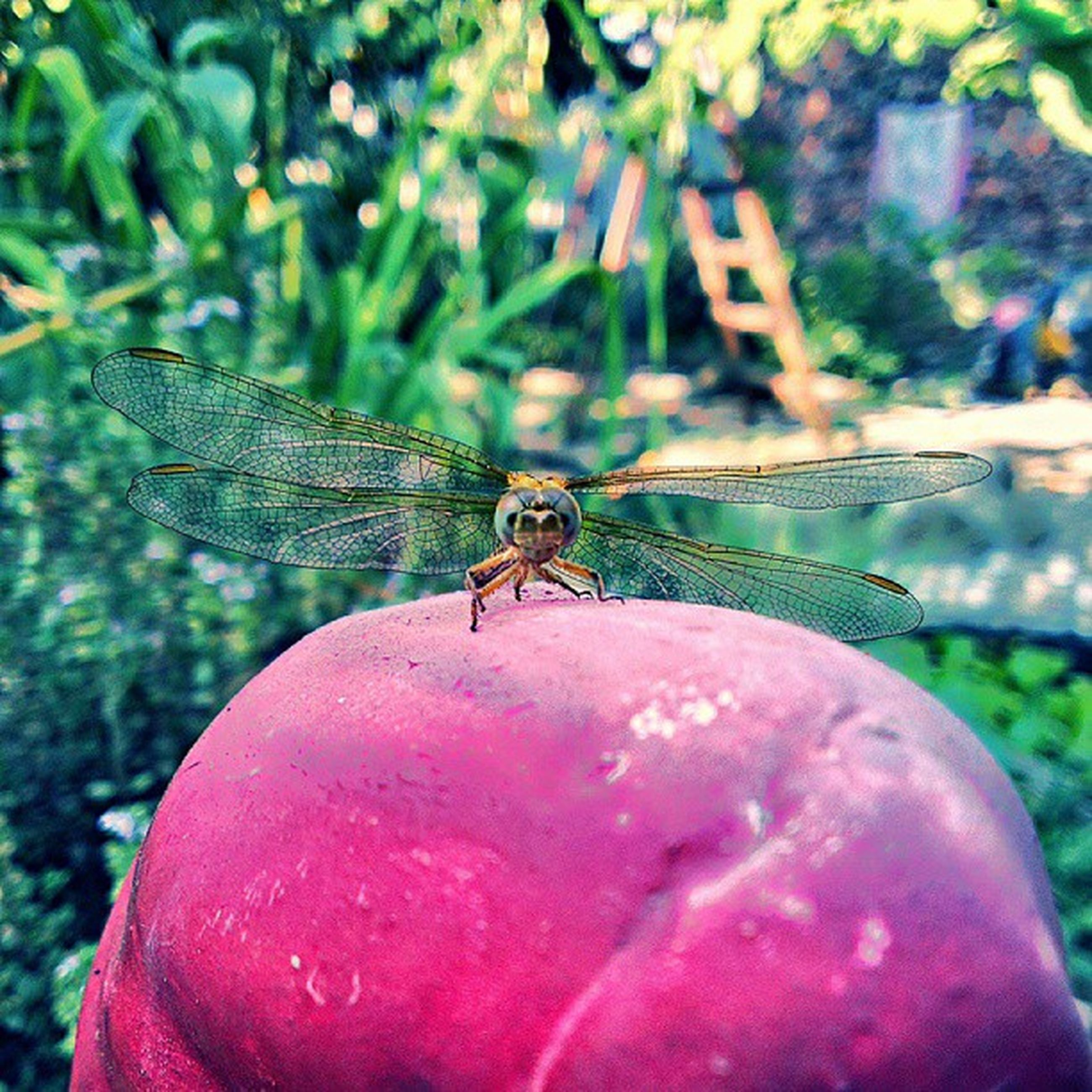 insect, one animal, animals in the wild, animal themes, wildlife, focus on foreground, close-up, animal antenna, nature, day, outdoors, animal wing, dragonfly, no people, animal wildlife, red, selective focus, full length, zoology, beauty in nature