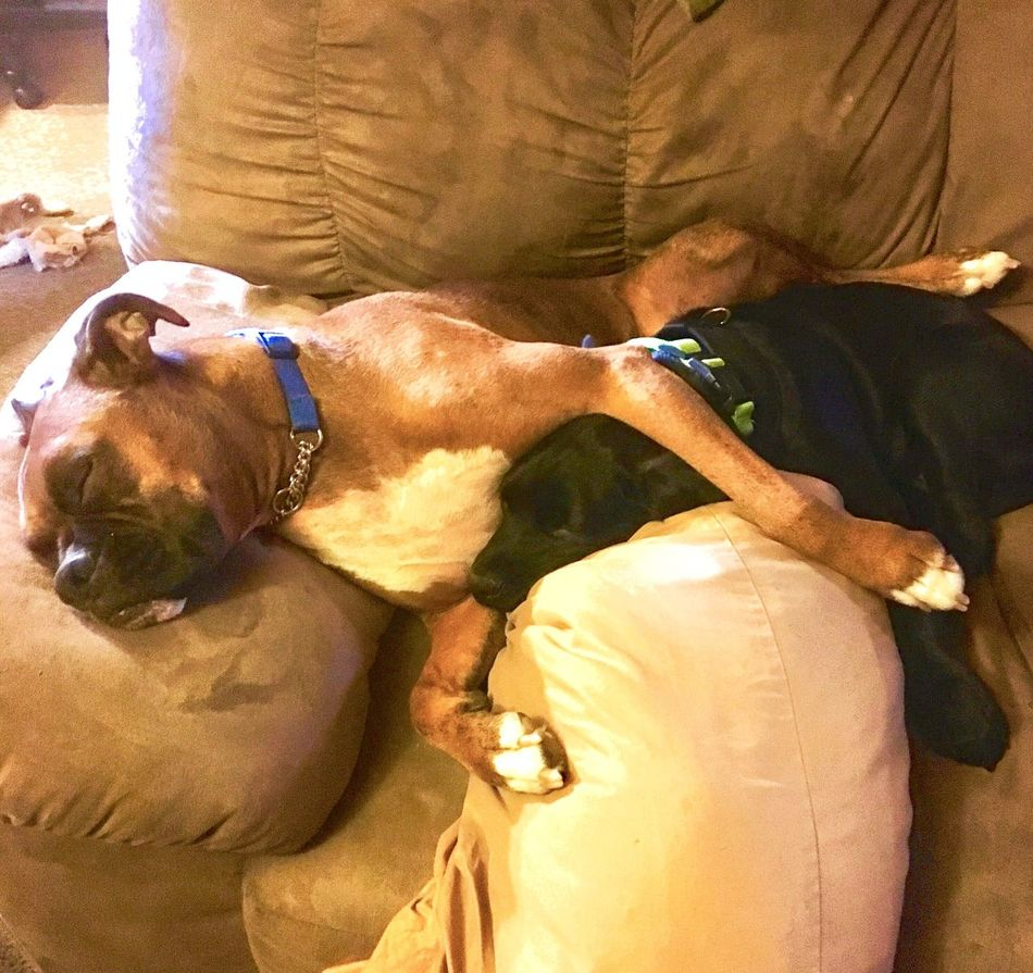 Best friends, after playing all morning. Boxer Dog & Boxador Domestic Animals Leisure Activity Pets Bonding Taken On Mobile Device Exceptional Photography Friendlove Puppy Photography Checkthis Out Bestfriend ♥ Caught Slipping Tuckered Out Moment In Time