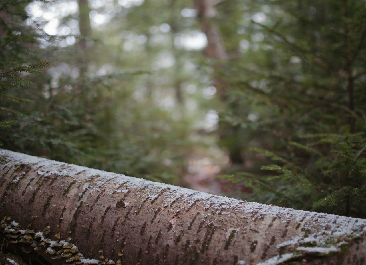 Winter is coming Forest Tree Nature Close-up Beauty In Nature Outdoors Day Winter Fall Snow No People Walking Around Nature Beautiful Beauty Tree Photography Woods Depth Of Field Pine Beauty In Nature Nikonphotography Outside Photography Awesome_nature_shots Pine Wood