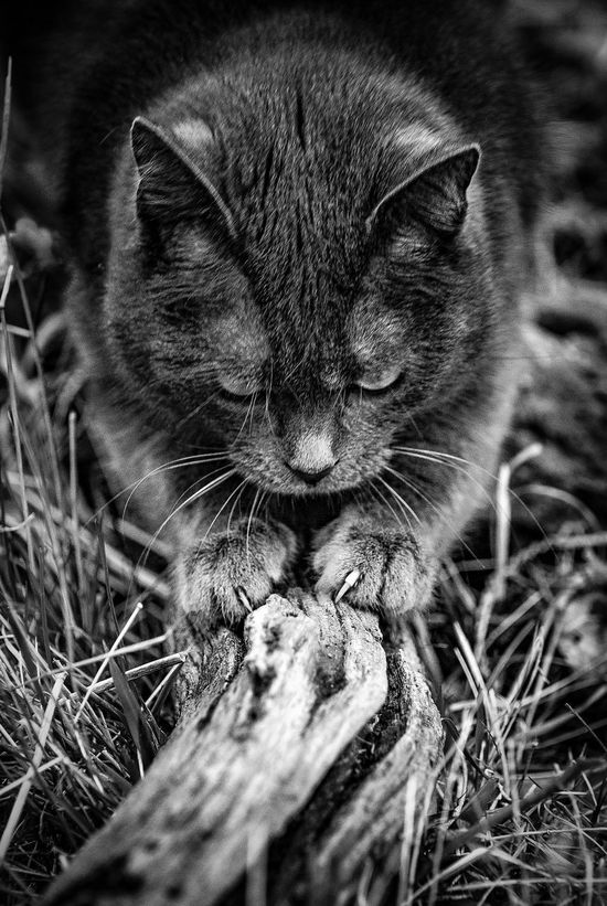 Animal Themes Cat Cats Claw Close-up Day Domestic Animals Domestic Cat Feline Grass Mammal Nature No People One Animal Outdoors Pets Portrait