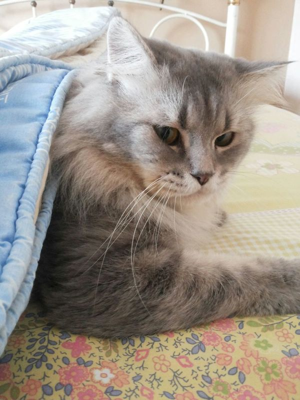 Under the blanket Cat Cat Lovers Pet Photography  Cute Pets