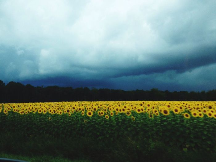 Tournesol Contrast Orage Sky Nature Paysage Wildlife Wanderlust Clouds Clouds And Sky