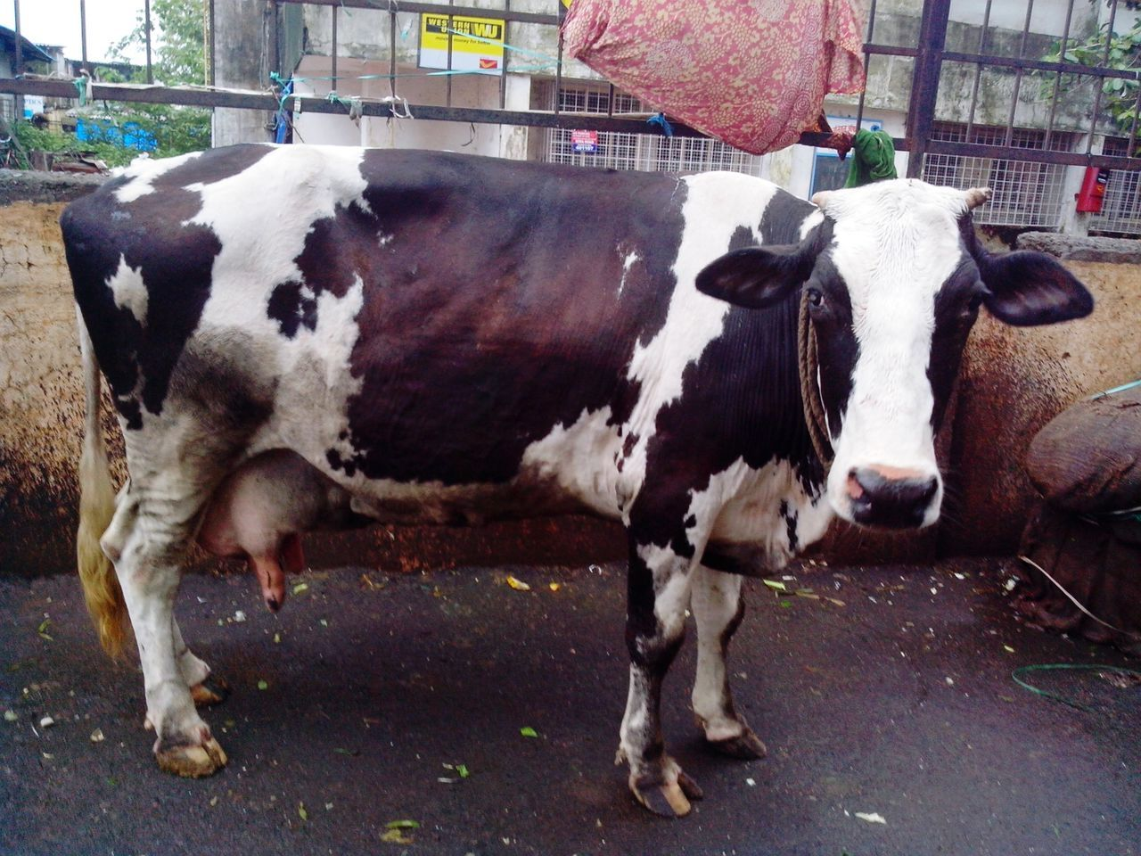 Black And White Cow Cattle