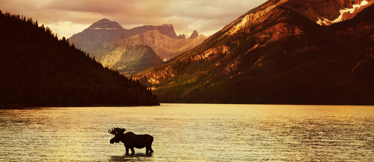 Moose in Lake with high mountains in background at sunset ( Alberta , Canada ) Adventure Alberta America Animals In The Wild Beauty In Nature Bullmoose Canada Lake Landscape Mammal Moose Mountain Mountain Range Nature No People One Animal Outdoors Scenics Silhouette Sky Sunset Water Waterton Waterton Lakes National Park Waterton National Park First Eyeem Photo