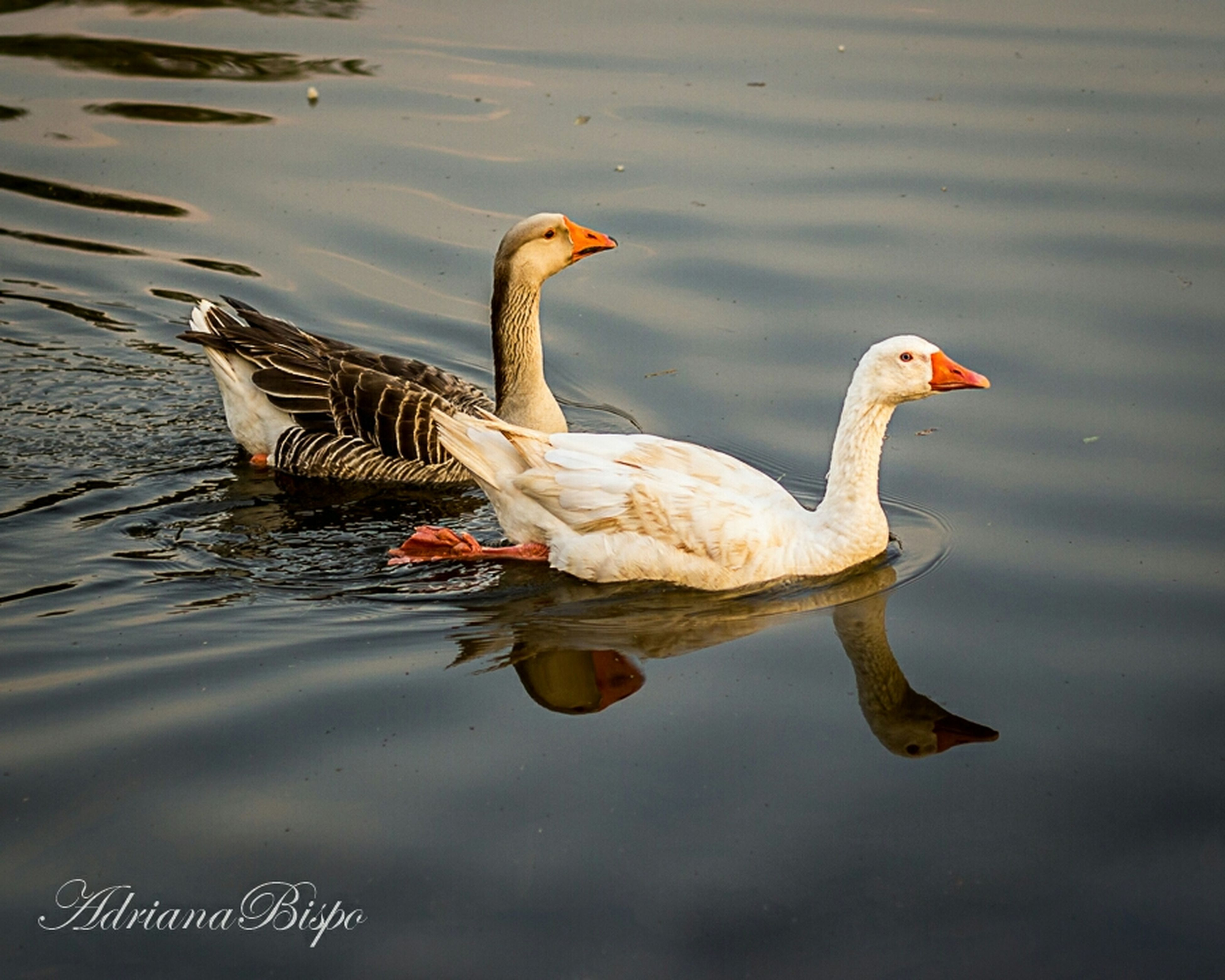 animal themes, bird, animals in the wild, water, wildlife, lake, waterfront, reflection, one animal, duck, nature, swimming, outdoors, rippled, two animals, side view, beak, day, no people, water bird