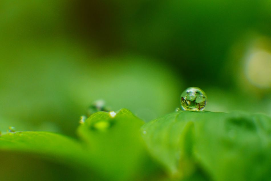 Making the most of a rainy week. Rain drop beads on new leaves. Water Drops Nature Photography Naturelovers Nature Outdoors Green Growth Beauty In Nature Green Color Beads Of Water RainyDays Water Droplets Green Leaves Newleaves