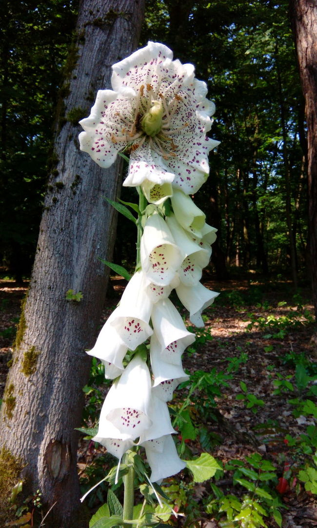 Fingerhut Foxgloves Foxglove Digitalis Wald Forest Blooming Petal Petals Flower Petal Flower Petals Floral Leaf Flower Blumen Wildpflanzen Gefuellte Bluetenblaetter Blueten Bluetenblaetter Flower Head Florescence Double Flower Flowers Beauty In Nature Blossom Flowering