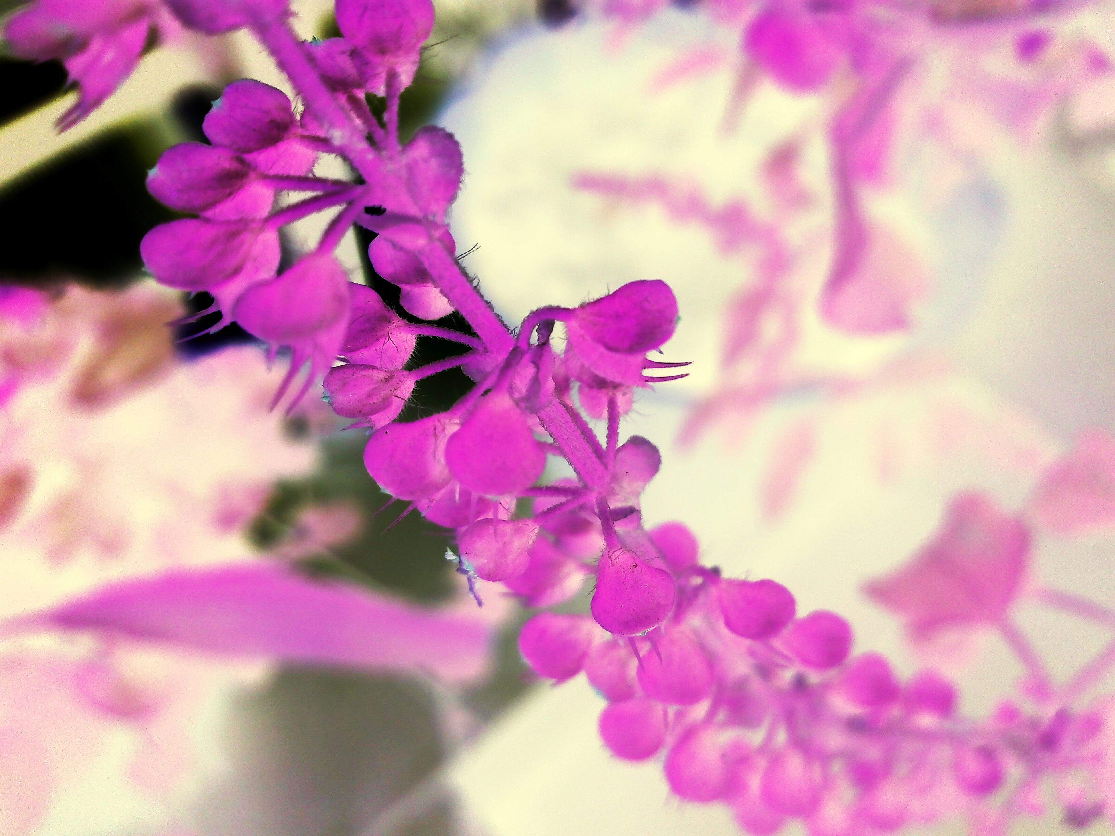 flower, freshness, fragility, petal, close-up, growth, beauty in nature, pink color, focus on foreground, selective focus, nature, purple, flower head, blooming, in bloom, plant, bunch of flowers, blossom, pink, springtime