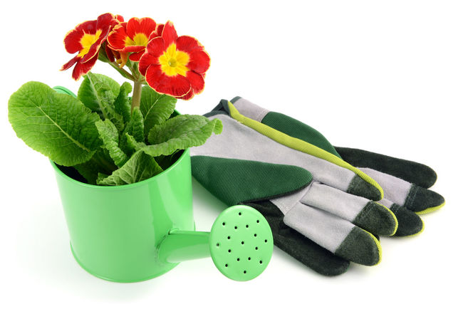 red primula in a water can with gardening tools like garden gloves Flowerpot Isolated Gardening Isolated White Background Primrose Primeln Primula Red Red Flower Garden Tools Watercan