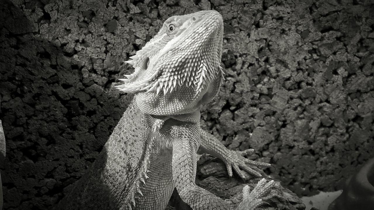 Nature Pogona Terrarium Animalphotography Bearbed Dragon Repile Animals