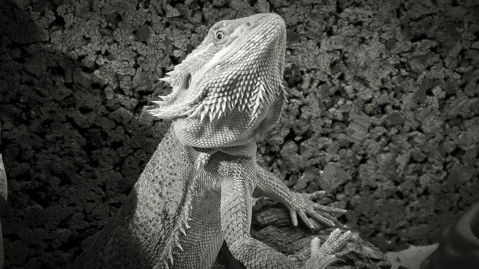 Nature Pogona Terrarium Animalphotography Bearbed Dragon Repile Animals