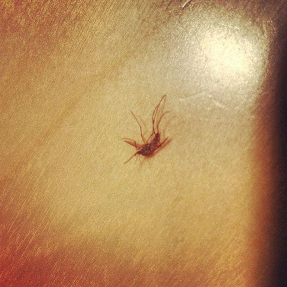 åretsførste Mygg Thisseasonsfirst Musquito karasjok