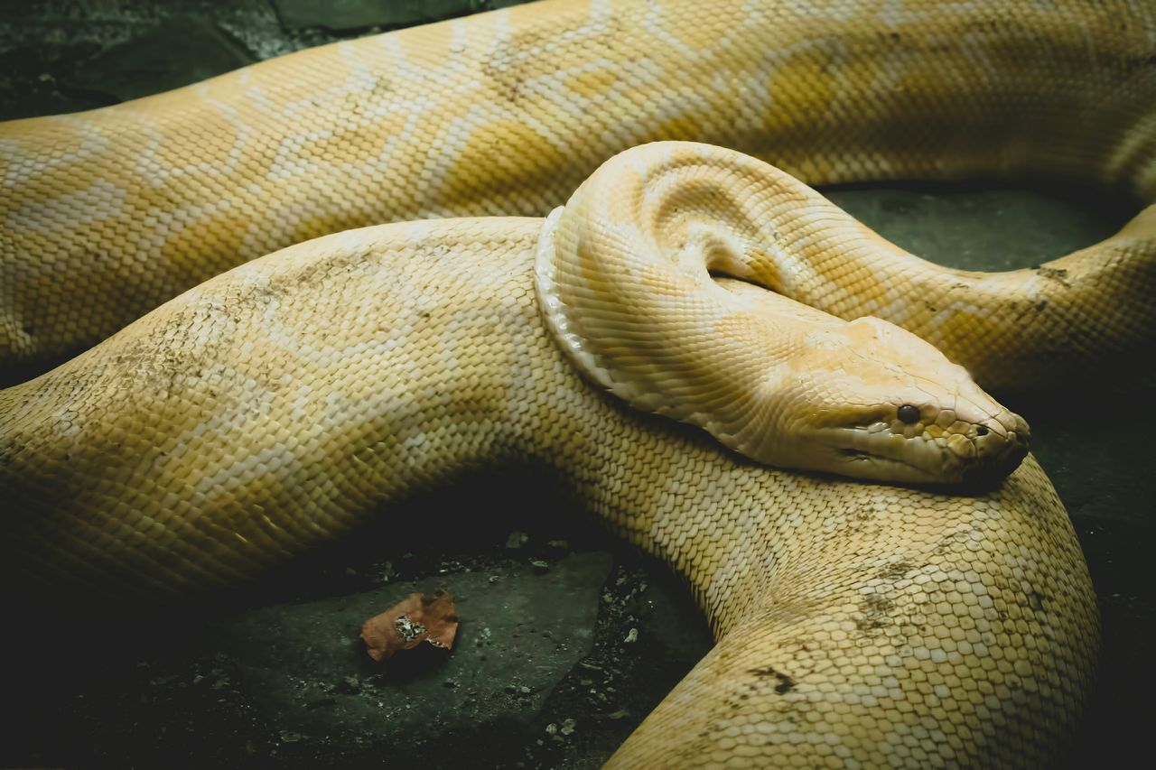 """You are tremendously potent and powerful today. It's a good day to tackle those nagging problems you've been putting off."" What Makes You Strong? Connected With Nature Texture Burmese Python Python Albino Snake Animals Animal Photography VSCO"