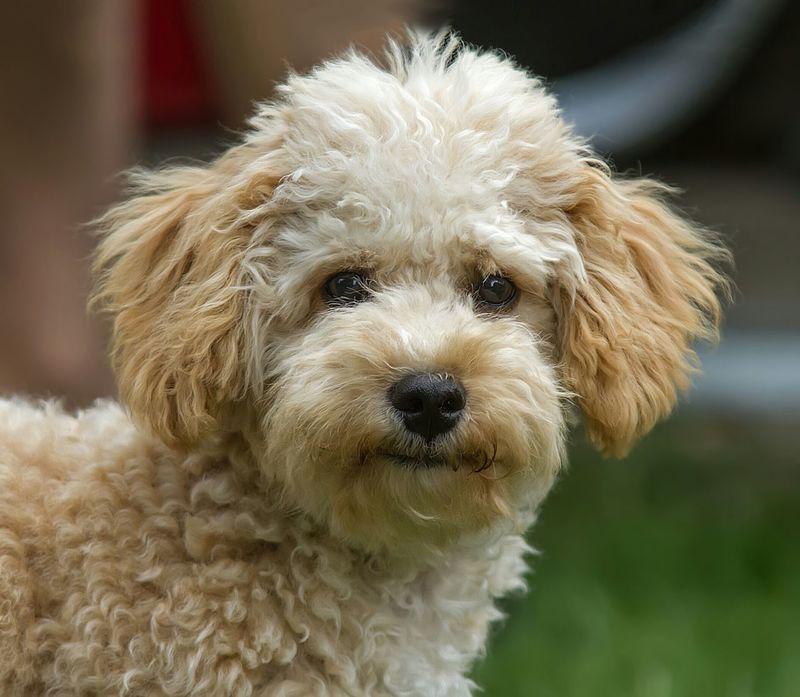 Summer Dogs. Summer Dogs Cavapoo Puppy Dog Fluffy Dog Cute Dog  Barney Dog Groomer Dog Food Cute Dog Face