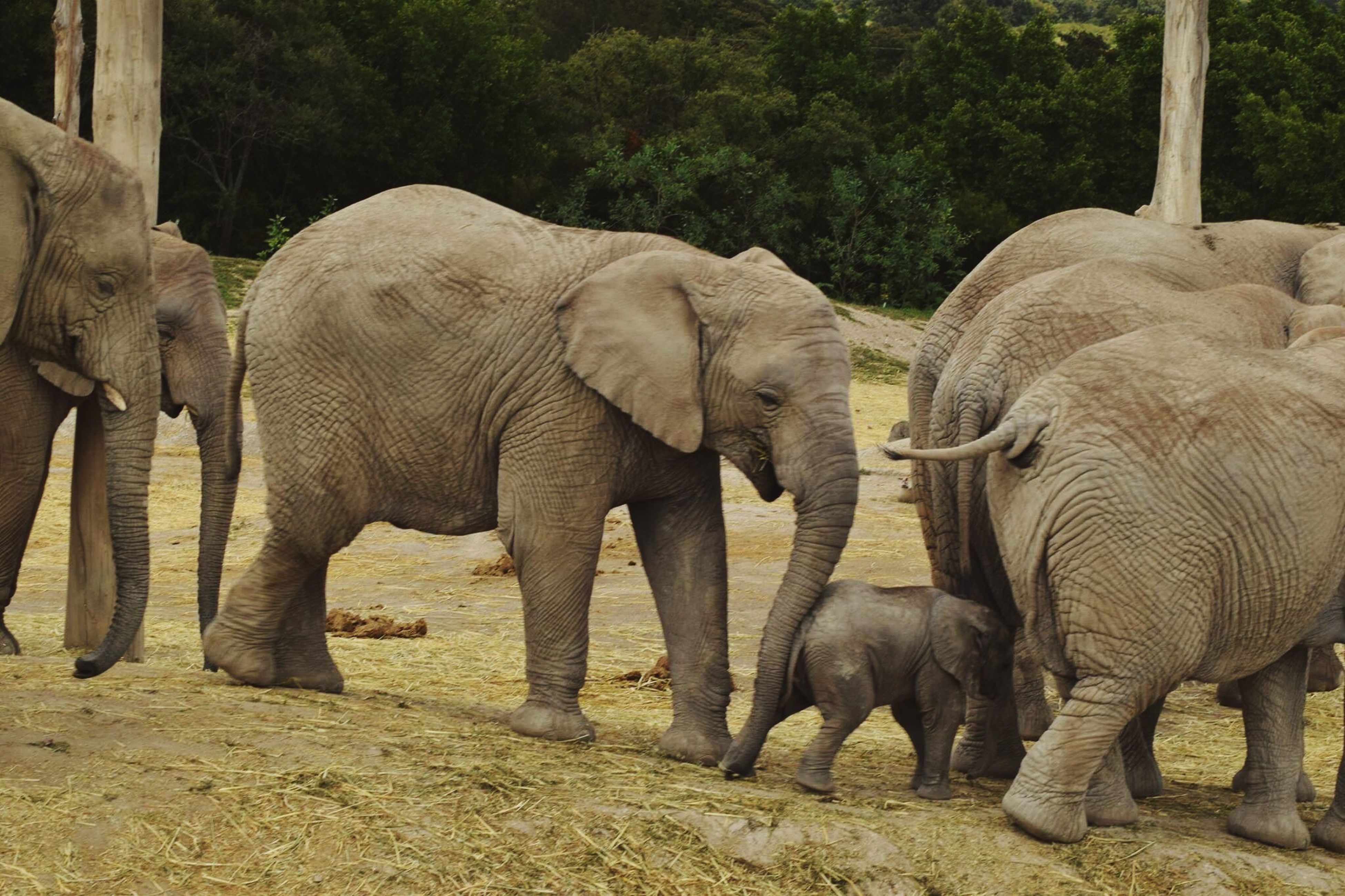 elephant, animals in the wild, animal themes, animal wildlife, mammal, young animal, no people, nature, animal family, day, elephant calf, outdoors, safari animals, tree, field, animal trunk, togetherness, african elephant, landscape, tusk