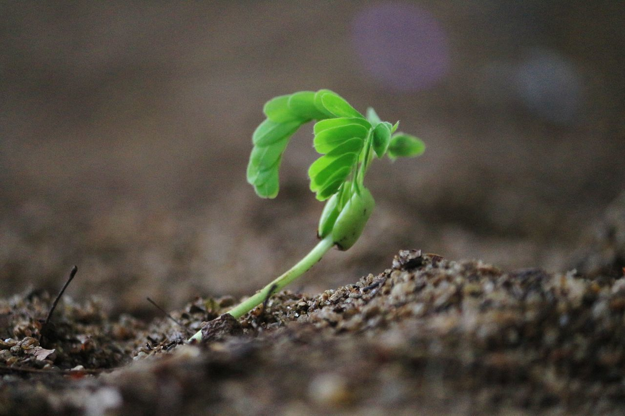 New born. Plant Growth Leaf Green Color Agriculture Nature Close-up Springtime Rural Scene Day Freshness Food Beauty In Nature New Born New Born Plant New Plantation Green Nature New Beginnings Green And Black Black Sand