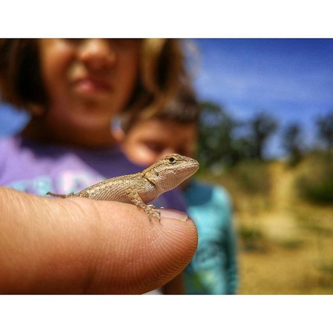 Found a Baby Fence Lizard down at Putahcreek . Wintersca Reptile Wildlife Kids Macro