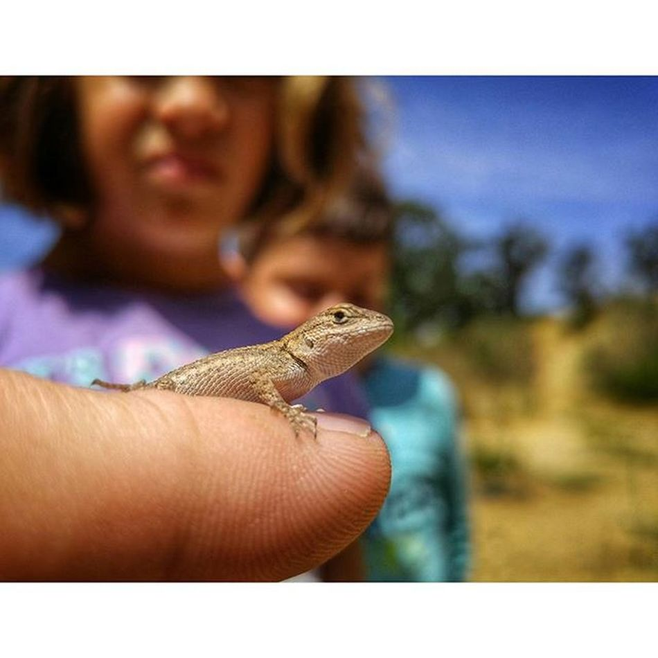Found a Baby Fence Lizard down at Putahcreek . Wintersca Reptile Wildlife Kids Macro