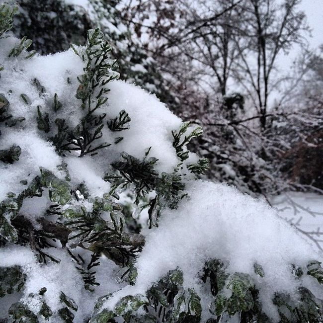 Frozen snow on the trees WOW Ice Frizen Frozen cedar pine oak trees amazing