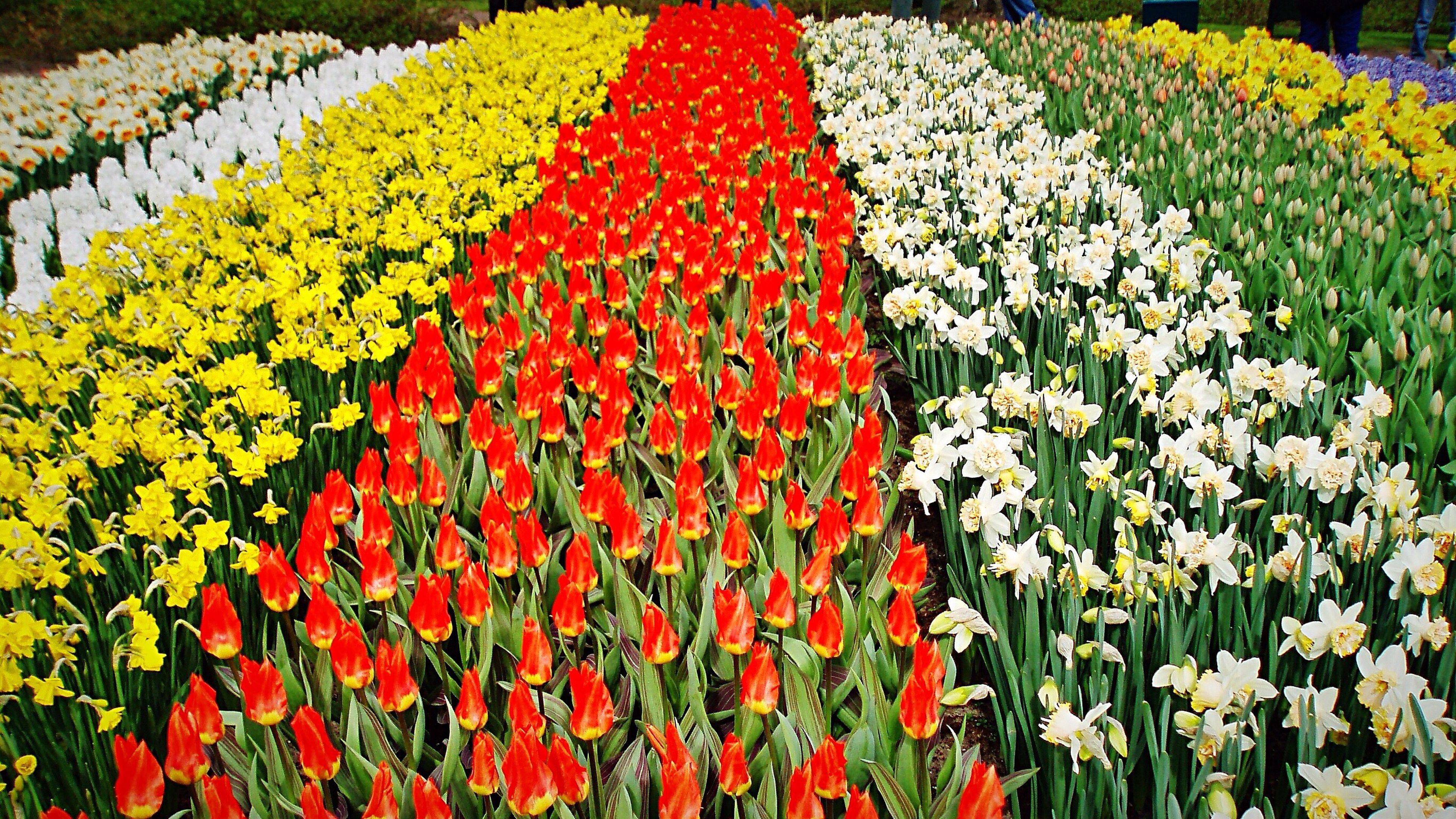 flower, abundance, freshness, growth, red, field, plant, beauty in nature, variation, flowerbed, multi colored, nature, fragility, high angle view, tulip, yellow, petal, day, agriculture, outdoors