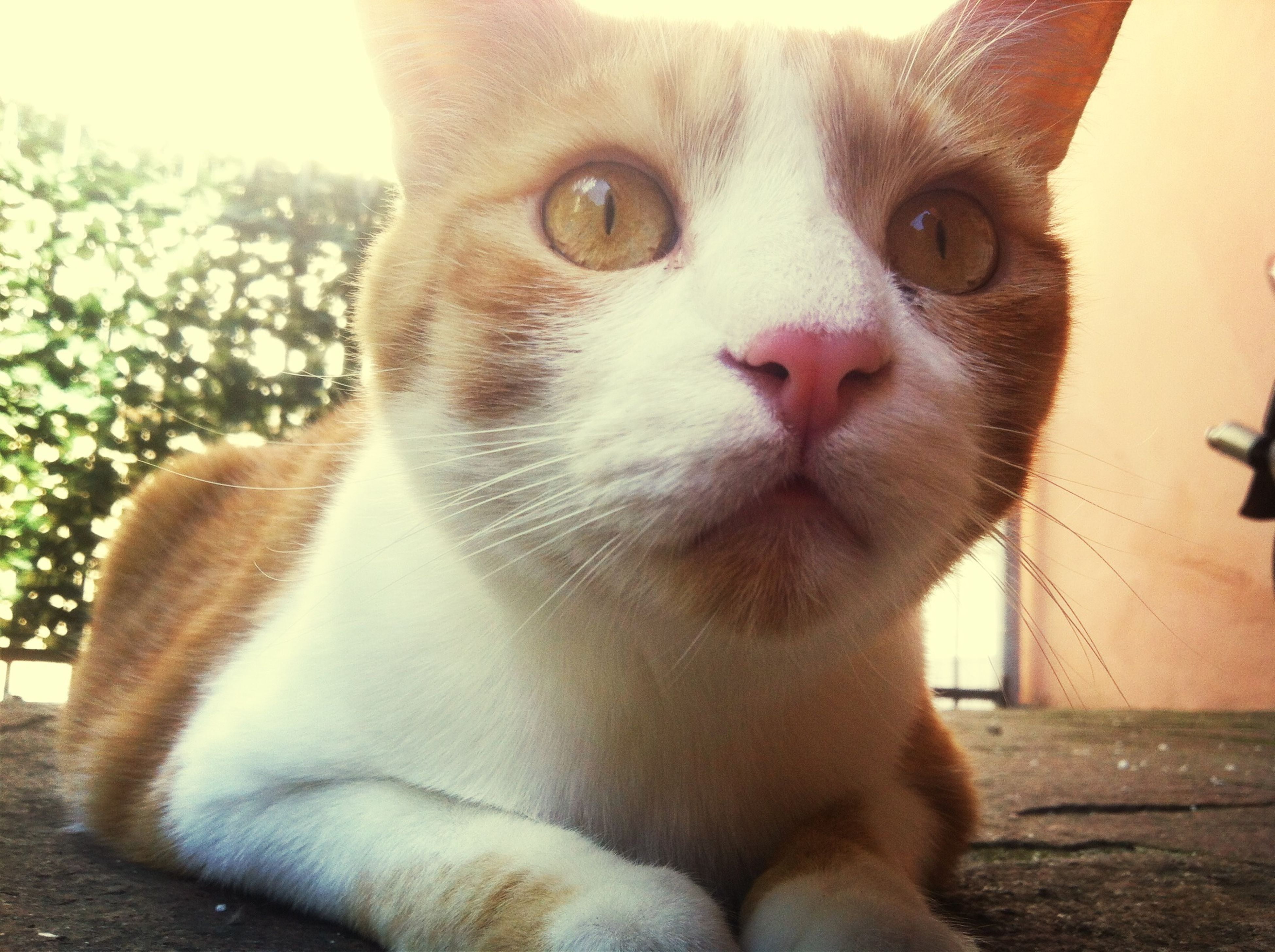 domestic cat, pets, one animal, domestic animals, cat, animal themes, mammal, feline, whisker, looking at camera, portrait, close-up, sitting, animal head, relaxation, indoors, no people, focus on foreground, front view