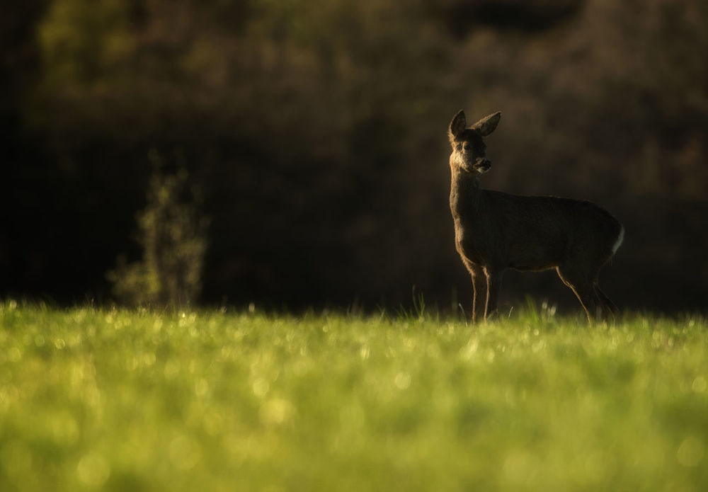 An image of a Roe Deer Doe at Digley Reservoir on a spring morning at dawn. Animal Themes Animal Wildlife Animals In The Wild Britain British Dawn Deer Digley Reservoir Doe Field Grass Holmfirth Huddersfield Mammal Nature No People One Animal Outdoors Roe Deer West Yorkshire Uk Wildlife Wildlife Photography Yorkshire First Eyeem Photo British Wildlife