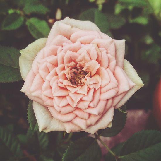 Flower Rosas🌹🌹