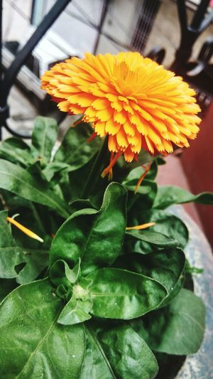 Nature Leaf Flower Plant Beauty In Nature Freshness Orange Color Flower Head Fragility Petal Yellow Close-up Growth Green Color No People Day Outdoors First Eyeem Photo
