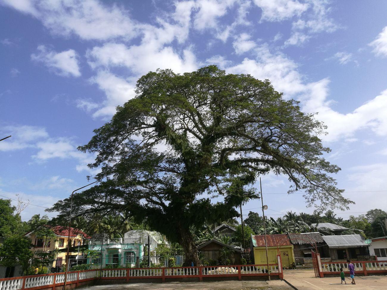 Tree Old Acacia Tree