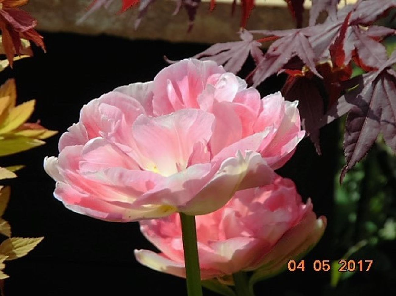 St Agnes Pink Color Flower Beauty In Nature Close-up Growth Day Fragility Outdoors No People My Garden Single Flower Flower Head Tulip Angelique