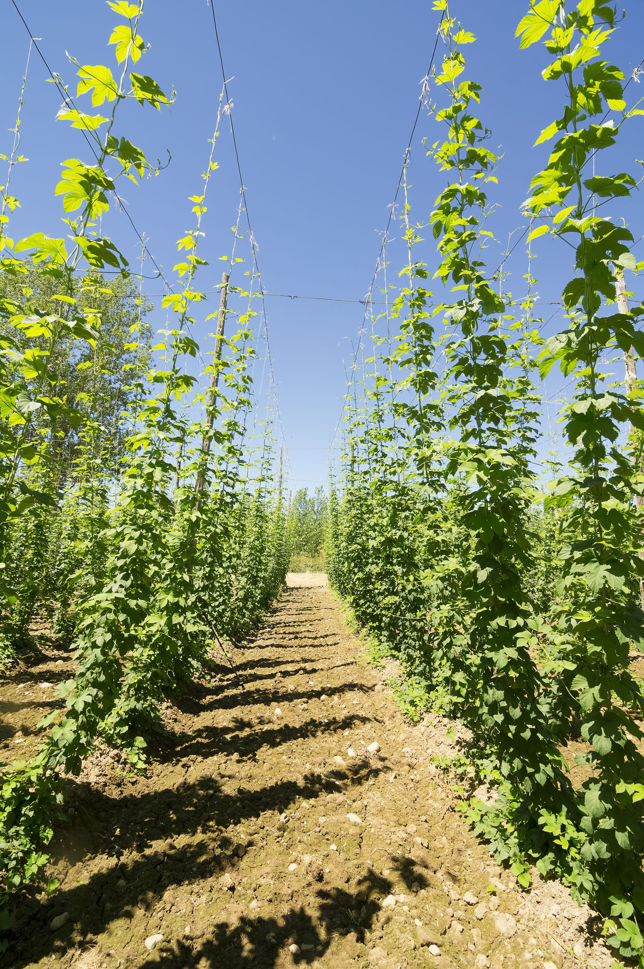 farm hop plants in Villoria village, Leon, Spain Agriculture Photography Beauty In Nature Beer Bio Blue Sky Brewery Color Ecology Farm Land Farmer Boyz Cruz Farming Green Color Growth Hop Humuluslupulus Leaves LeonEsp  Lupulus No People Outdoors Plant Ripe Ripe Fruit