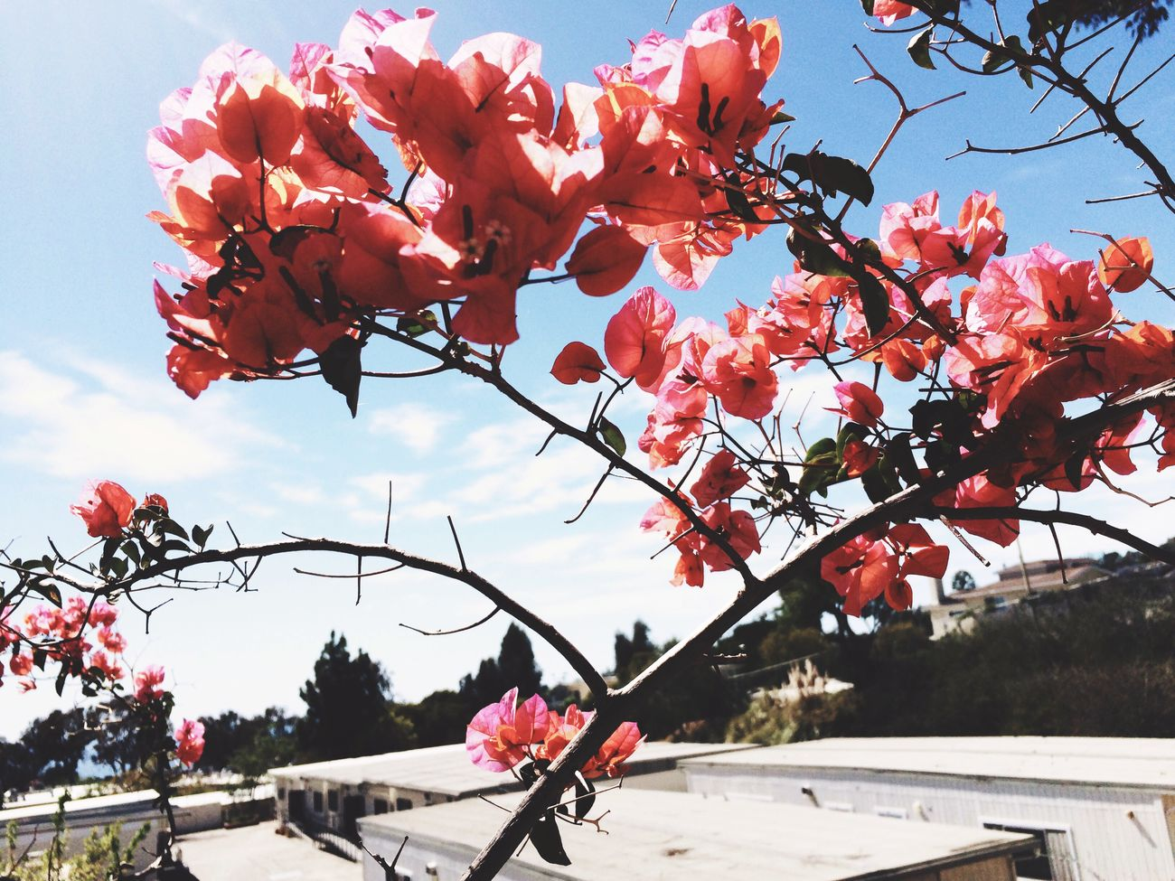Bougainvillea Flowers California Dreaming California Perpetual Summer lovely shades of rusty pink. Perfect Day Open Edit Dark Pink By Motorola