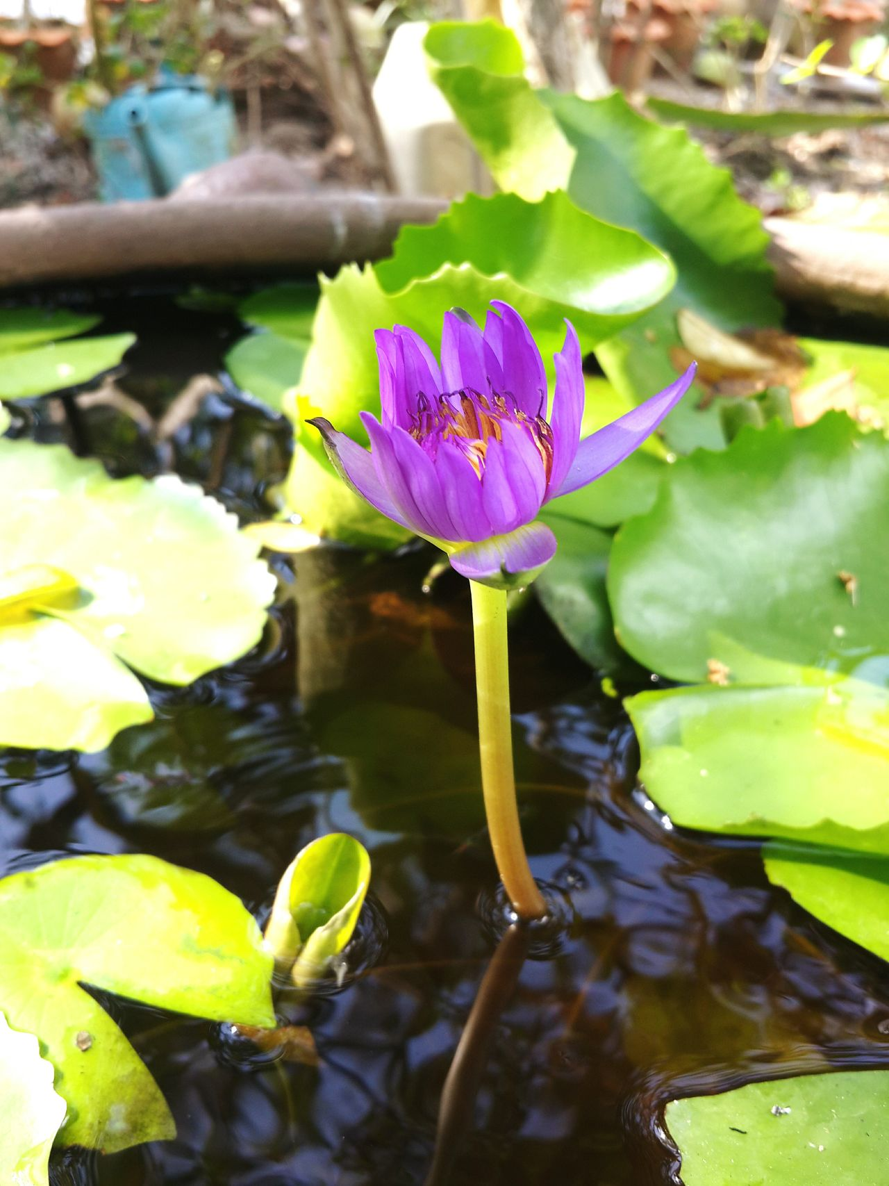 Leaf Water Lily Pond Flower Nature Water Floating On Water Plant Beauty In Nature Water Plant Purple Lotus Water Lily Outdoors No People Close-up Day Multi Colored Flower Head Freshness Fragility