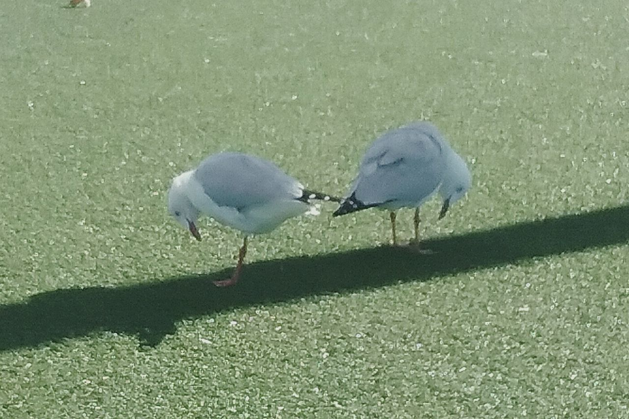 Seagulls On The Grass Bird Photography Birds🐦⛅ Two Seagulls Facing Opposite Directions Seagulls Looking Down Close-up Seagull One Leg