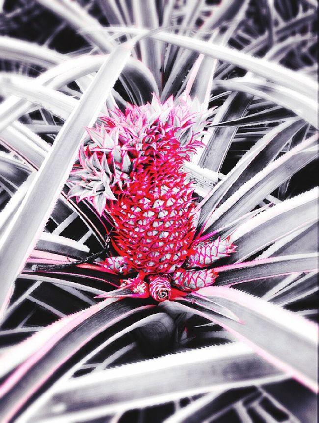 Pineapple Black White Red Plants And Flowers Plants And Fruits 🌱🍇🍒🍓🍑🌴 Plants And Garden Original Photography EyeEm Gallery EyeEm Nature Lover EyeEm Best Edits EyeEm Best Shots Fruit Talking Pictures