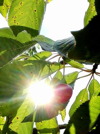 The OO Mission EyeEm Gallery Cherry Sun Between Trees Sun Behind The Tree Leaves And Sun