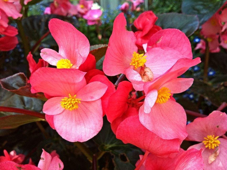 Planten Un Blomen Pink Pink Flower Flower Collection Flowers,Plants & Garden Flowers, Nature And Beauty Nature_perfection Flowers Flowerporn Jopesfotos - Nature